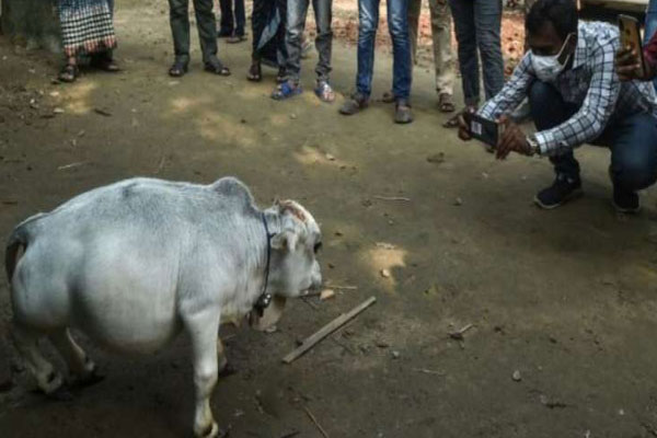 Video: मिलिए 'दुनिया की सबसे छोटी गाय' रानी से, लोग बोले- कुदरत का करिश्मा, लम्बाई बकरे से भी छोटी