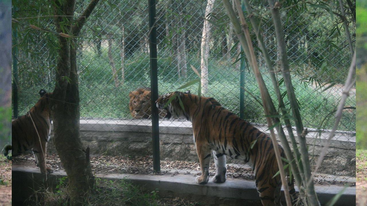 कभी शेर हुआ करता था भारत का राष्ट्रीय पशु, जानिये आखिर ऐसा क्या हुआ जो बाघ को मिल गया ये तमगा?
